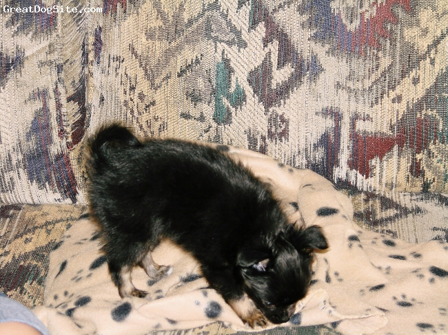 Pomchi, 19 months, black with tan legs & markings, this pic is Brandy @ 2 months. When we recieved her she wieghed in @ vet 2 days later @ 1.8 lbs, she was the runt of her liter & the only black pup.