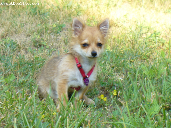 Pomchi, 3 months, Sable, Mostly Pomeranian with long haired chihuahua ...