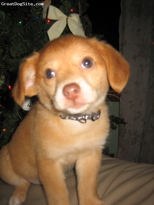 Pomeagle, 11 Months, Fawn, Carmel the Pomeagle (Pomeranian / Beagle Mix) at 3 Months old.
