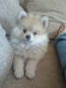 Pomeranian, 14 Weeks, Blonde