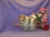 Pomeranian, 2 months, Chocolate Parti