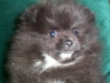 Pomeranian, 7weeks, Blak w/White Markings