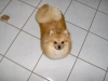 Pomeranian, 10mo, red