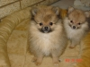 Pomeranian, 12 weeks, orange sables