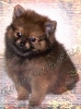 Pomeranian, 8 Weeks, Org Sable
