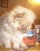Pomeranian, 10 weeks, parti