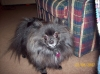 Pomeranian, 5, black