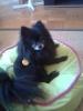 Pomeranian, 11, Black