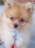 Pomeranian, 3 Months, Orange