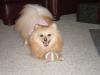 Pomeranian, 3, Sable