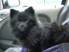 Pomeranian, 7 months, Shiny Black