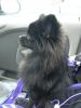 Pomeranian, 7 months, black