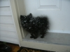 Pomeranian, 4 months, Black