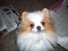 Pomeranian, 1, parti-colored white with orange