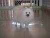 Pomeranian, 2 Yrs Old, White