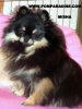 Pomeranian, 18 months old, Black n Tan