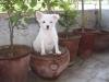 Pomeranian, 4 MONTHS, WHITE