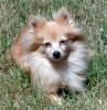 Pomeranian, 8, Blonde