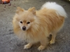 Pomeranian, 9 YRS OLD, CREAM