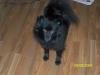 Pomeranian, 1yr, Black
