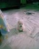 Pomeranian, 2 months, White