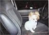 Pomeranian, 8, white