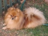 Pomeranian, 2 1/2 years, Sable