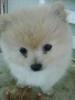 Pomeranian, 3 Months, White