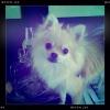 Pomeranian, 9months, beige