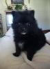 Pomeranian, 3 Mos., Black