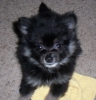 Pomeranian, 10 Weeks, Black and Gray