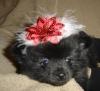 Pomeranian, 6 wks, Black
