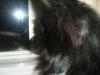 Pomeranian, 1 yr, Black w/ white