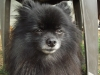 Pomeranian, 4 years, Black with white muzzle