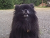 Pomeranian, 4 years old, Black with white muzzle
