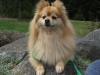 Pomeranian, 6 years old, blond
