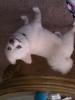Pomeranian, 1, white