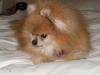 Pomeranian, 15, Red