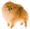 Pomeranian, 1, red velvet