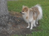 Pomeranian, 4, Sable