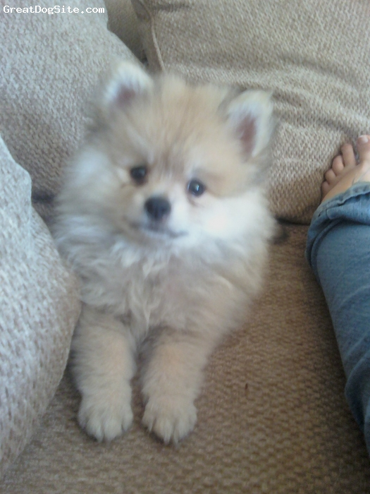 Pomeranian, 14 Weeks, Blonde, Bentley chillin on the couch