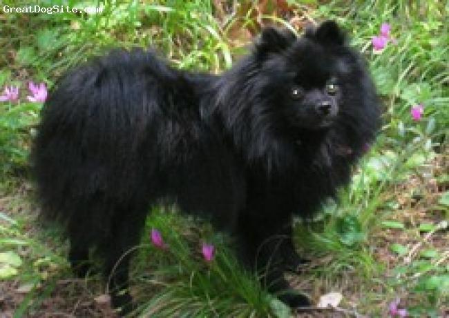 Pomeranian, 4, black, pomeranian Spitz  i