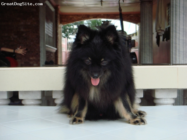 Pomeranian, 2 years old, Black and Tan, Very cute and long Coat