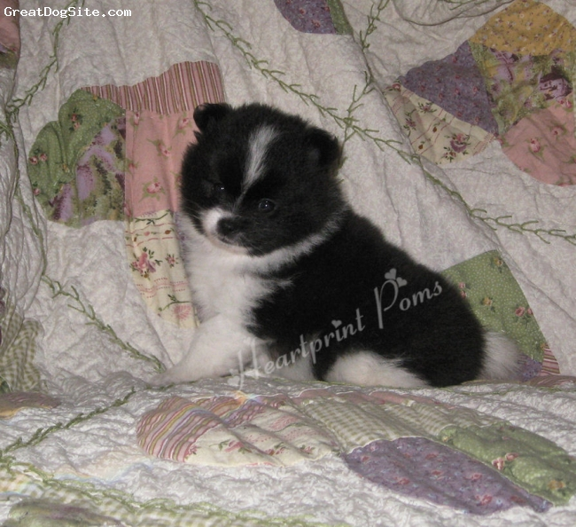Pomeranian, 6 weeks, black and white, i am for sale