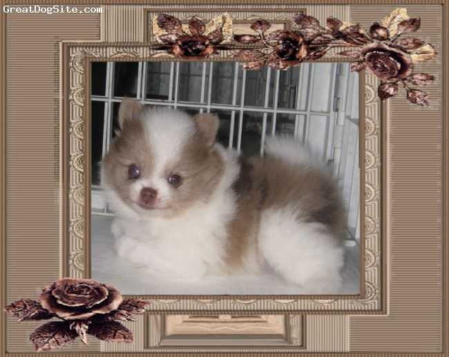 Pomeranian, 6 weeks, chocolate and white, Adorable  chocolate n white merle  not for sale