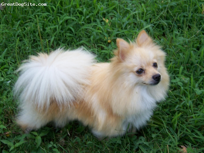 Pomeranian, 3, cream/orange, Beautiful little girl with a dynamic personality....