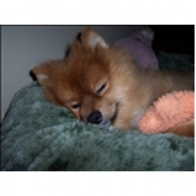 Pomeranian, 5, tan, He is sweet and playful. He loves me and I love him.