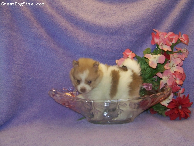 Pomeranian, 2 months, Chocolate Parti, Beautiful chocolate/beaver parti male, AKC Pomeranian available for purchase! Rambo is perfect in every way-he's rambunctious and ready for action, you say when and he'll be there.  This little guy is perfect to breed since he's so tiny and will make a great friend.  Raised around other doggies, my cats and kids.  Great disposition/conformation! Will mature around 4.5 to 5lbs.
