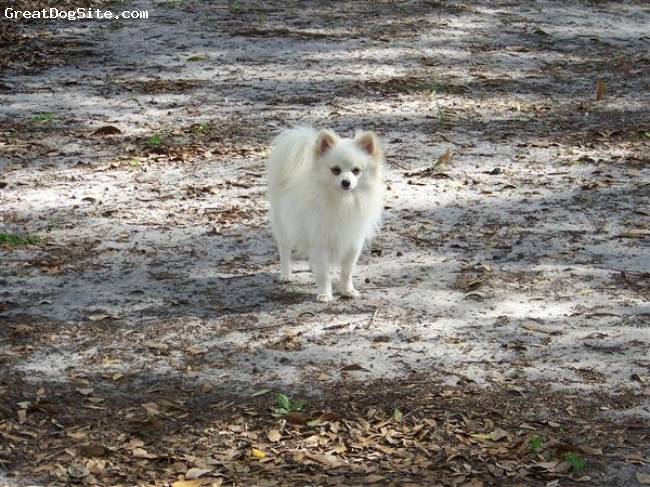 Pomeranian, 1.5 years, white, Stud this beautiful all white boy with your female of choice. Razzle is 100 % AKC Pomeranian with only whites and creams behind him.  He has a beautiful short coby body and has created some of the most beautiful pom babies I have.