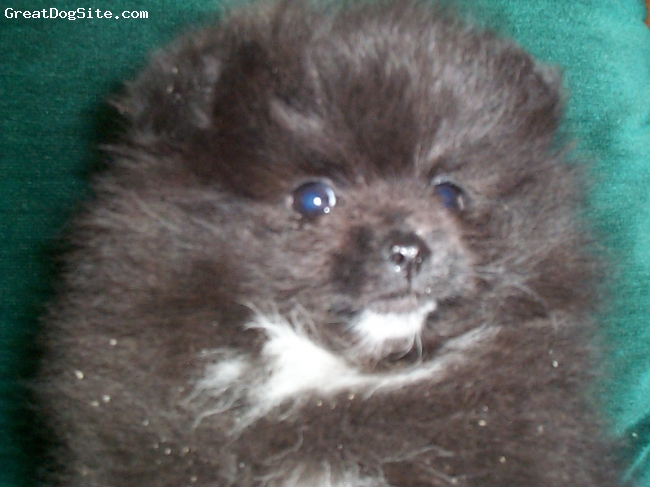 Pomeranian, 7weeks, Blak w/White Markings, Gina is from Bi-Mar Bloodlines and has lots of CH. on her Pedagree.She has a baby doll face ,super thick coat ,short body ,and would be  wonderful for anyone wanting a pet or brood .
